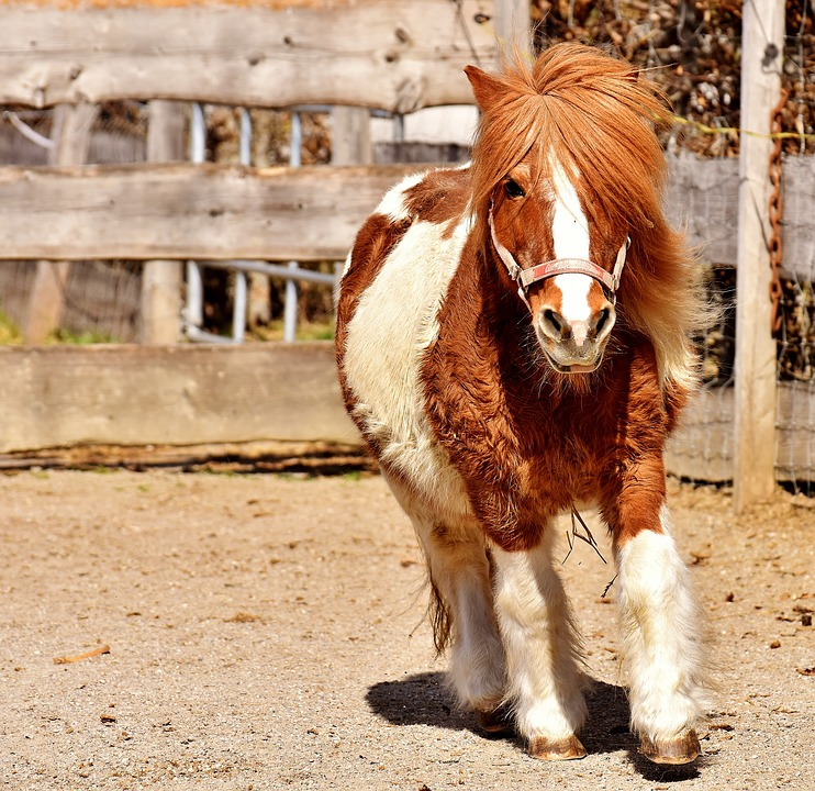 Pony, Run, Cute, Small Horse, Brown, White, Animal