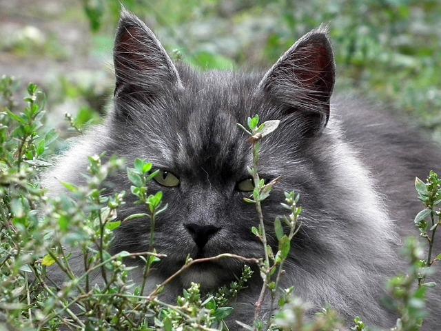 Cat, Siberian, Portrait, Cat's Eye, Cute, Kitten