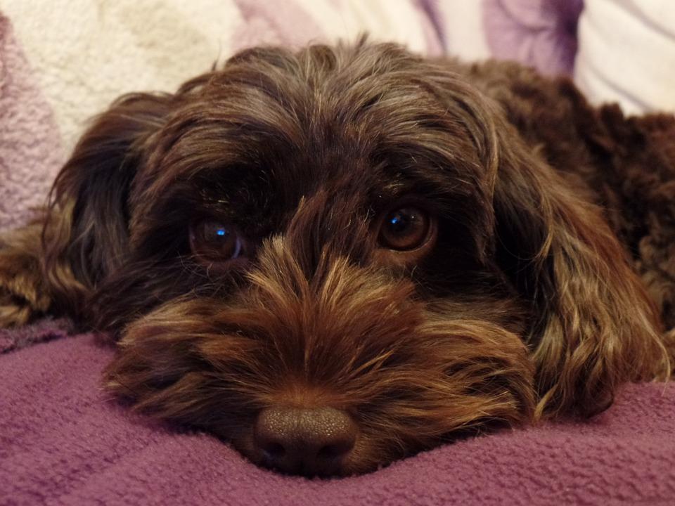 Cockapoo, Dog, Canine, Cute, Sleeping Dog, Mw Photos