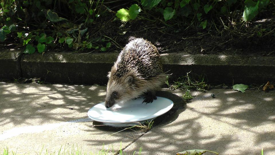 Hedgehog, Mammal, Cute, Nager, Garden, Spur