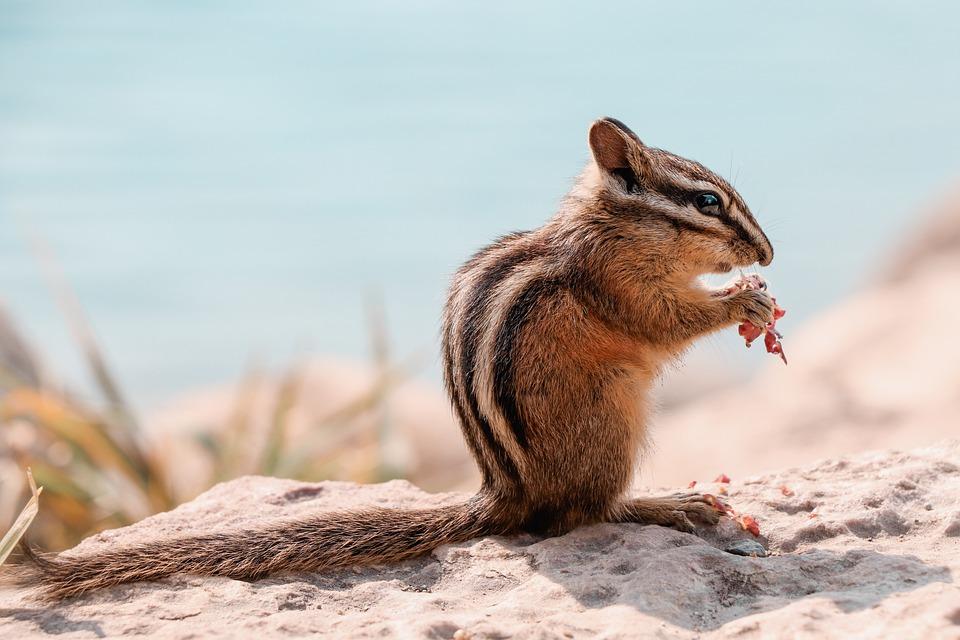 Chipmunk, Animal, Nager, Canada, Sweet, Squirrel, Cute