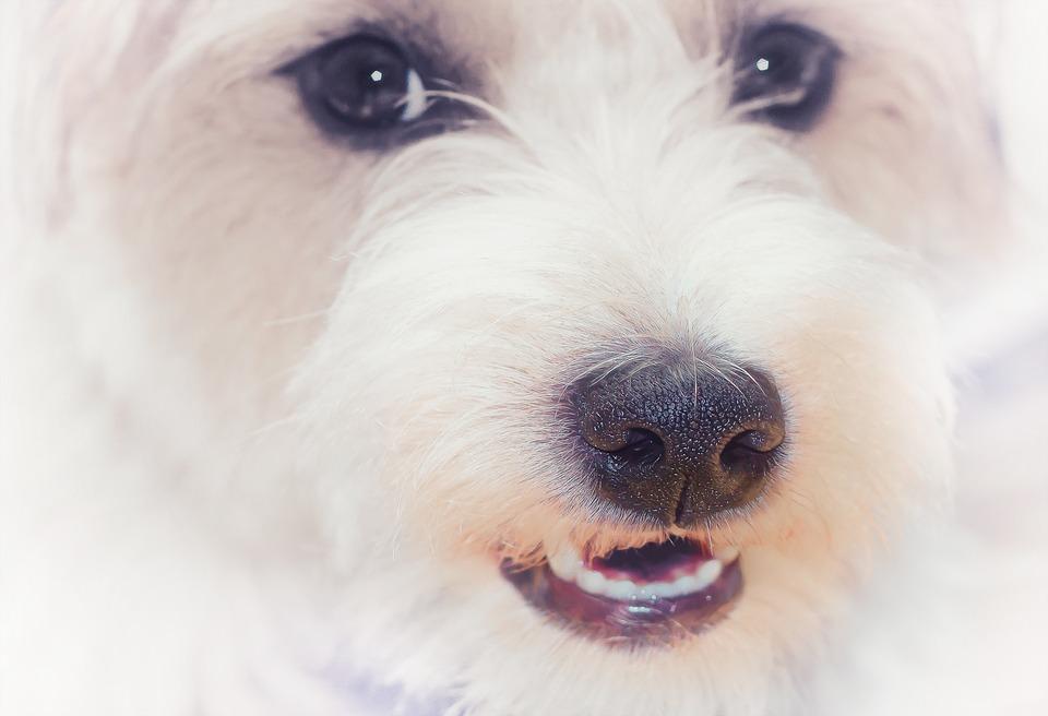 Portrait, Terrier, Dog, Detail, Pet, Animal, Cute, Race