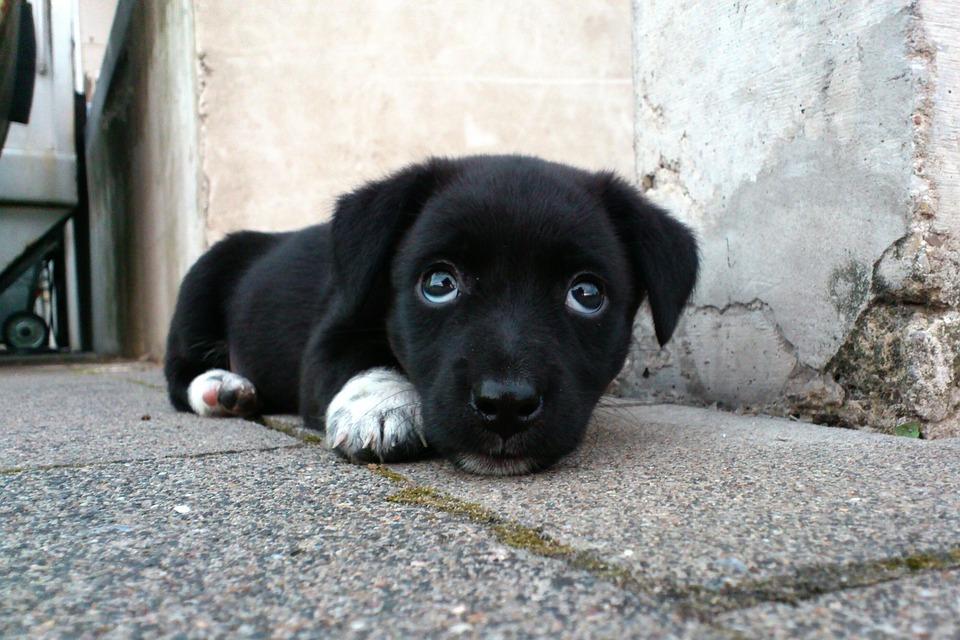 Dog, Animal, Tired, Sleepy, Cute, Sweet, Puppy, Black