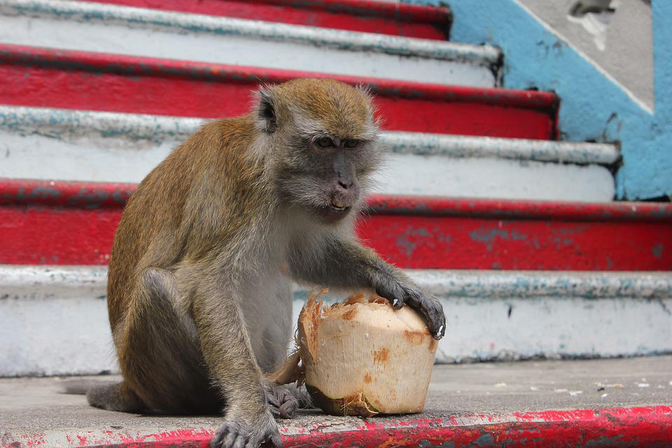 Monkey, Coconut, Malaysia, Wildlife, Asia, Travel, Cute
