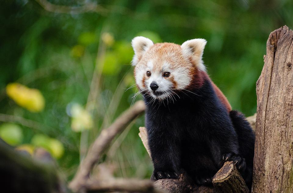 Animal, Cute, Nature, Red Panda, Tree, Wildlife