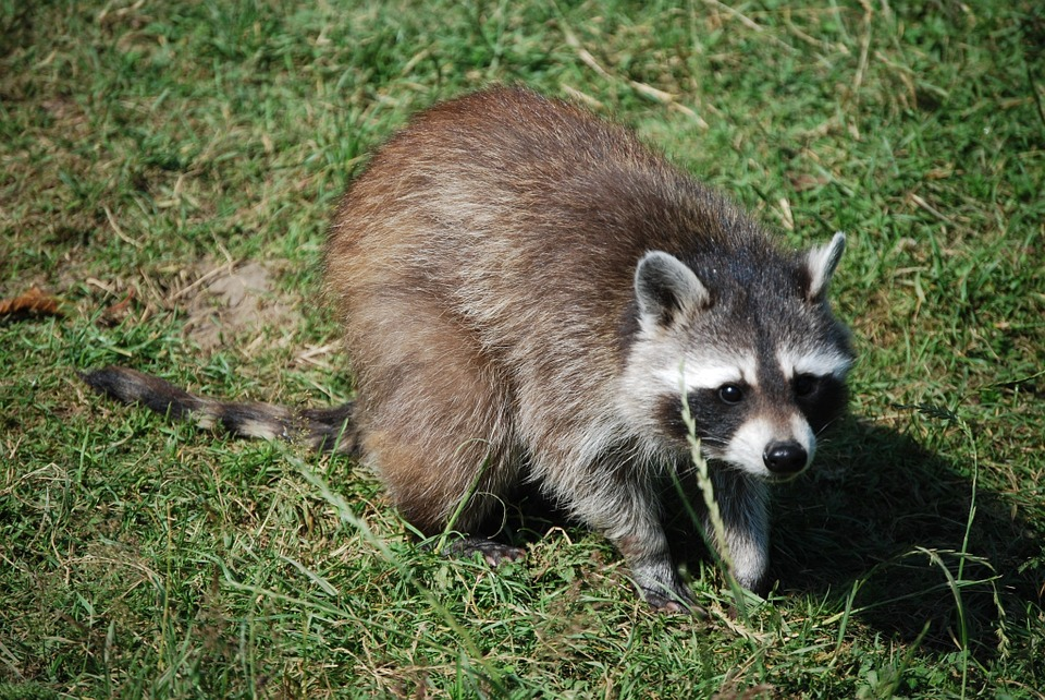 Raccoon, Cute, Wildlife Park