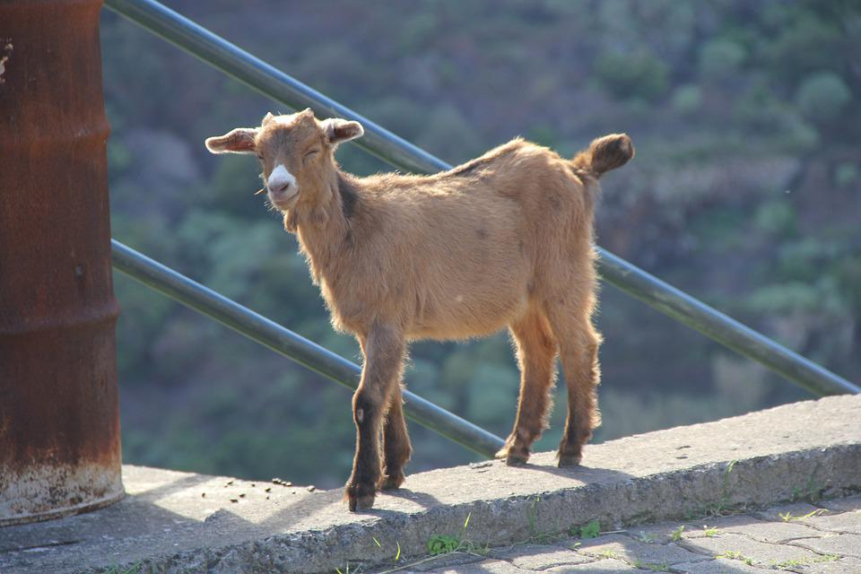 Animal, Nature, Portugal, Goat, Livestock, Cute-goat