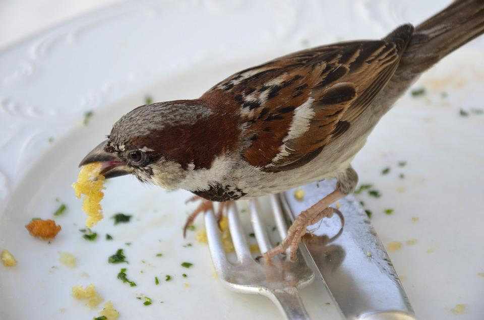 Sparrow, Fink, Eat, Fork, Cutlery, Plate, Schnitzel