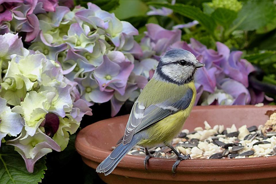 Bird, Tit, Blue Tit, Cyanistes Caeruleus, Young, Garden