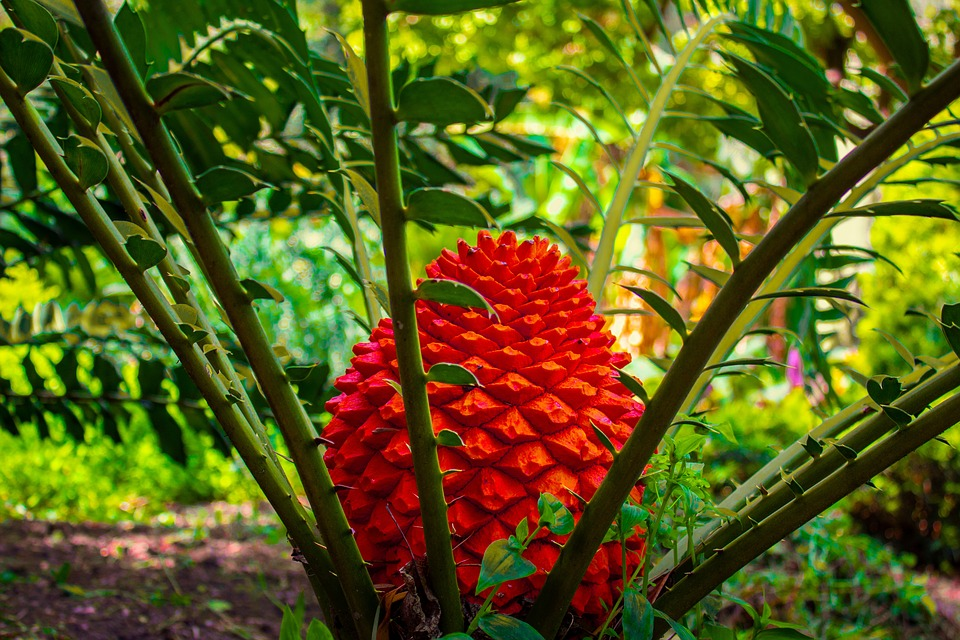 Cycad, Plant, Prehistoric, Leaves, Red, Bulb