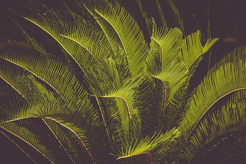 Palm Fern, Cycas-revoluta, Crop, Plant, Exotic, Palm