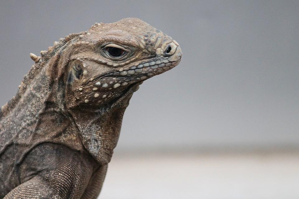 Iguana, Cyclura Nubila, Ring-tailed Iguana, Tail Iguana