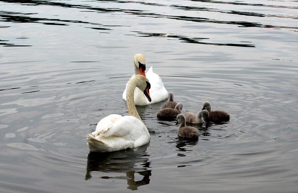 Swans, Cygnets, Family, Water Birds, Water, Plumage