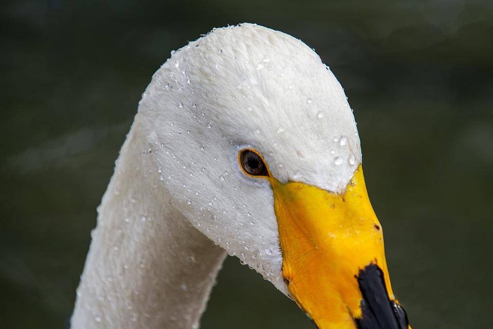 Swan, Whooper Swan, Cygnus Cygnus, Swan Head