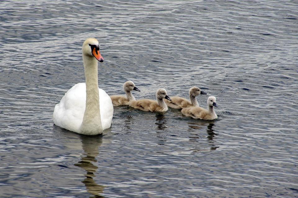 Swan, Swans, Chicks, Cygnus, Anatidi, Birds
