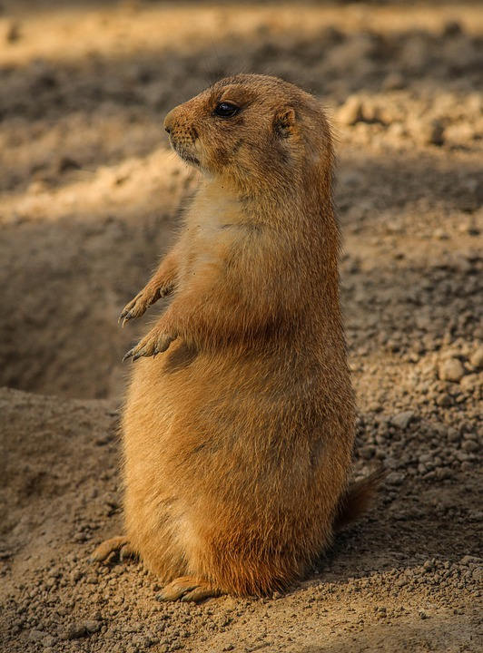 Prairie Dog, Cynomys, Burrowing Rodent, Ground Squirrel