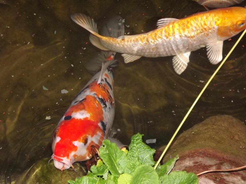Koi, Carp, Cyprinus Carpio, Garden Pond, Fish, Japanese