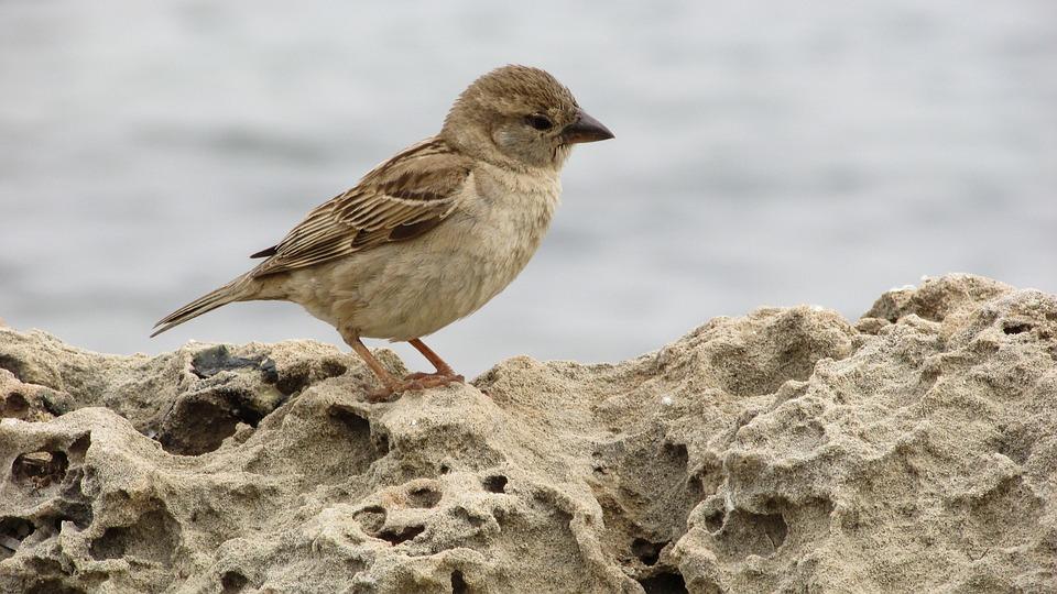 Sparrow, Young, Cute, Small, Bird, Animal, Cyprus