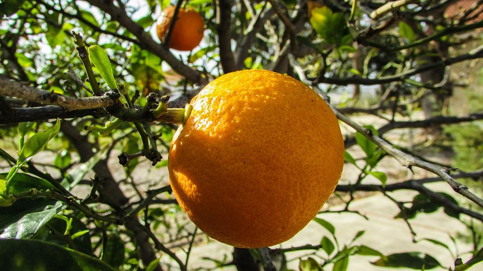 Orange, Tree, Fruit, Garden, Spring, Cyprus