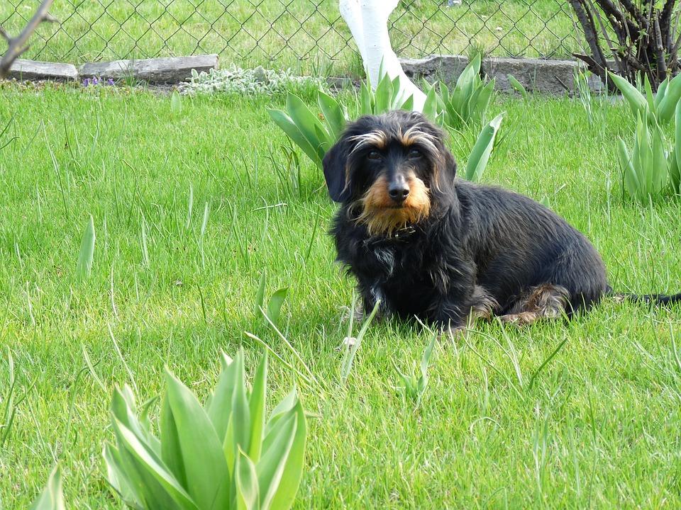 Dog, Dachshund, Garden