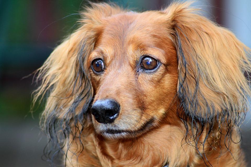 Pet, Dog, Dachshund, Animal, Canine, Trust, Cute