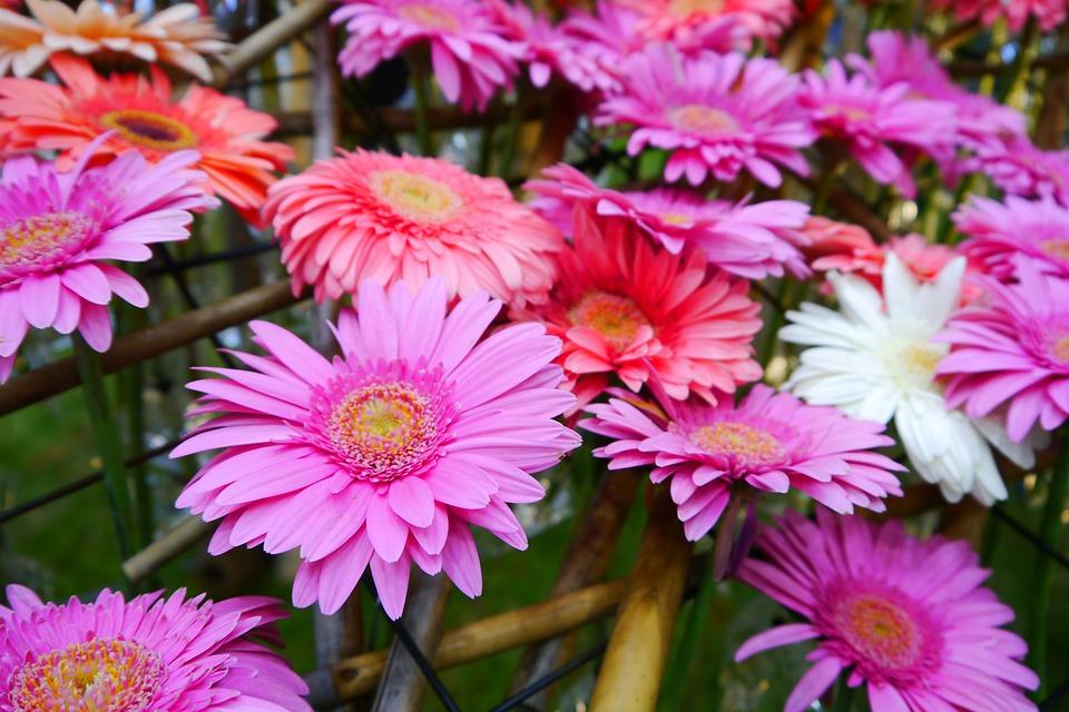 Daegu, Wildflower, Pink, Tabitha