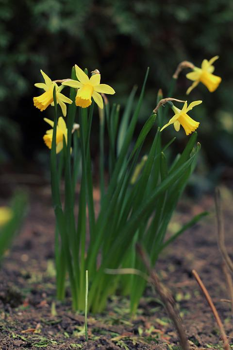 Daffodil, Spring, Easter, Narcissus, Flower, Yellow