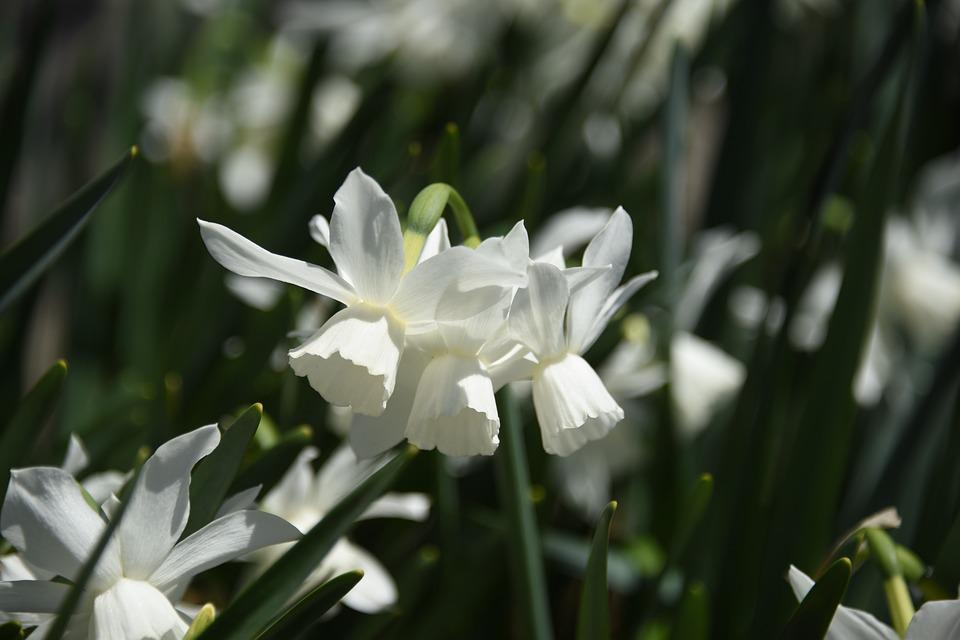 Free photo daffodil flower nature white spring narcissus max pixel narcissus white flower daffodil nature spring mightylinksfo