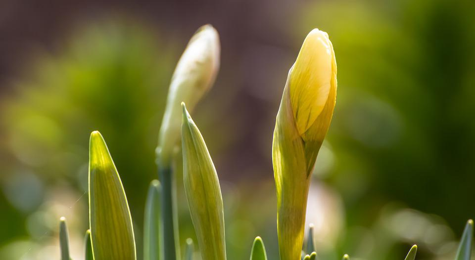 Daffodil, Buds, Flowers, Narcissus, Yellow Flowers