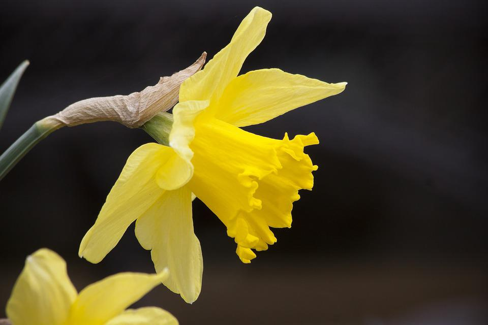 Narcissus Pseudonarcissus, Daffodil, Nature, Plant