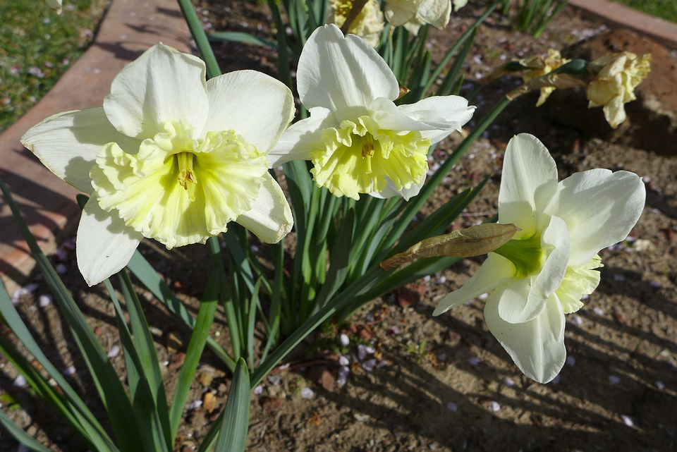 Daffodils, Flowers, Blossoms, Blooms, Blooming, Yellow