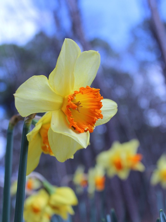 Daffodils, Yellow, Blooms, Blossoms, Blooming, Petals