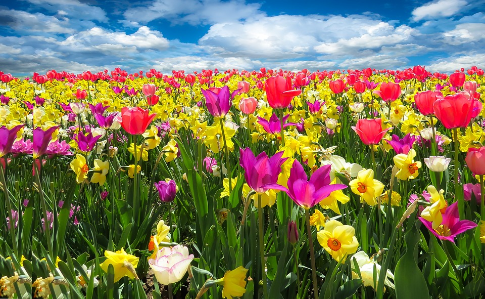 Tulips, Daffodils, Flowers, Field, Meadow, Colorful