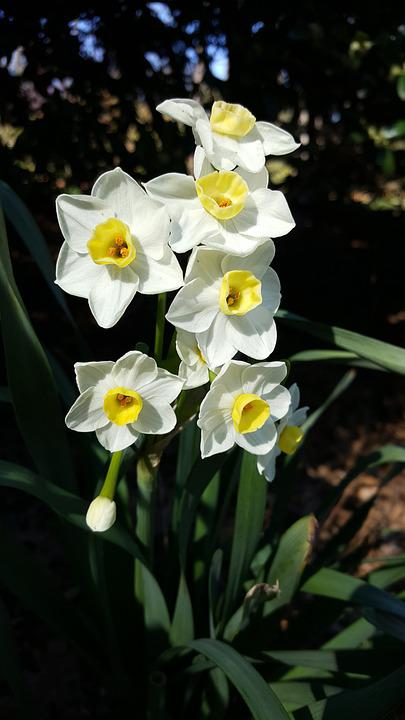 Daffodils, Flowers, Plant, Narcissus, White Flowers