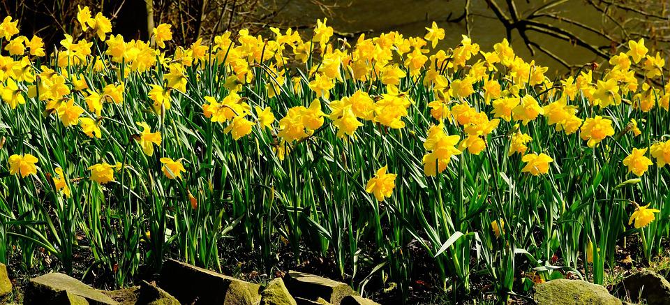 Daffodils, Flowers, Osterglocken, Yellow Daffodils