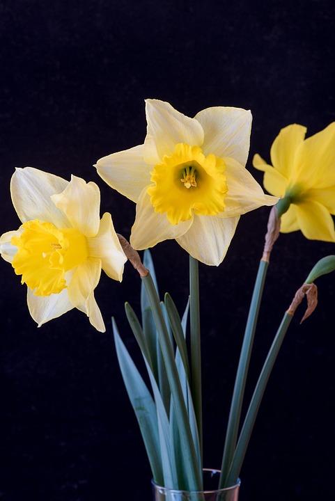 Free photo daffodils yellow yellow flowers flowers max pixel daffodils flowers yellow yellow flowers mightylinksfo