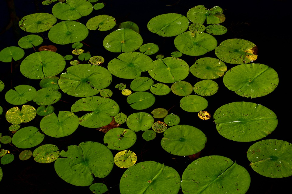 Lotus, Lilly Pad, Water Lily, Dahlia Anemone, Leaves