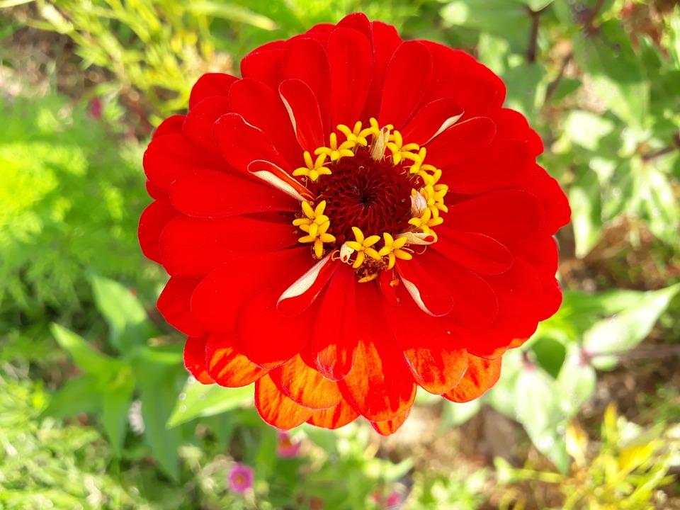 Asteraceae, Dahlia, Red