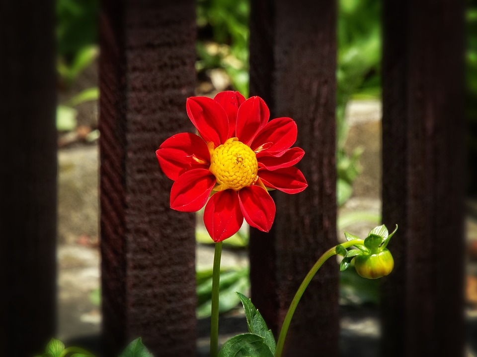 Beauty, Garden, Dahlia, Red Flower, Summer, Flower