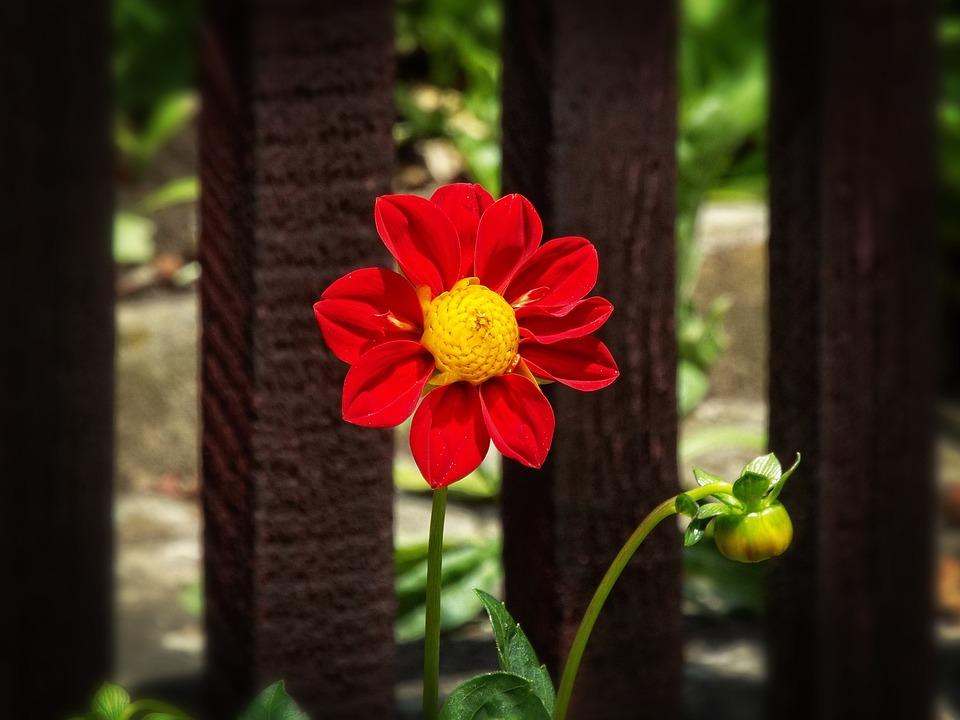 Beauty, Garden, Dahlia, Red Flower, Summer, Flower