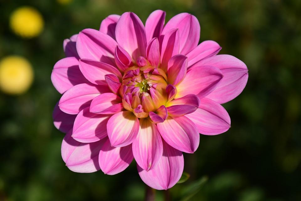Dahlia, Blossom, Bloom, Flower, Dahlia Garden, Pink
