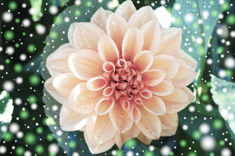 Dahlia, Plant, Flower, Blossom, Bloom, Greeting Card