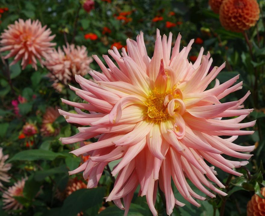 Dahlia, Flower, Blossom, Bloom, Plant, Garden Plant
