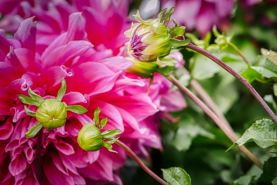 Flower, Dahlia, Blossom, Bloom, Bud, Nature, Bloom