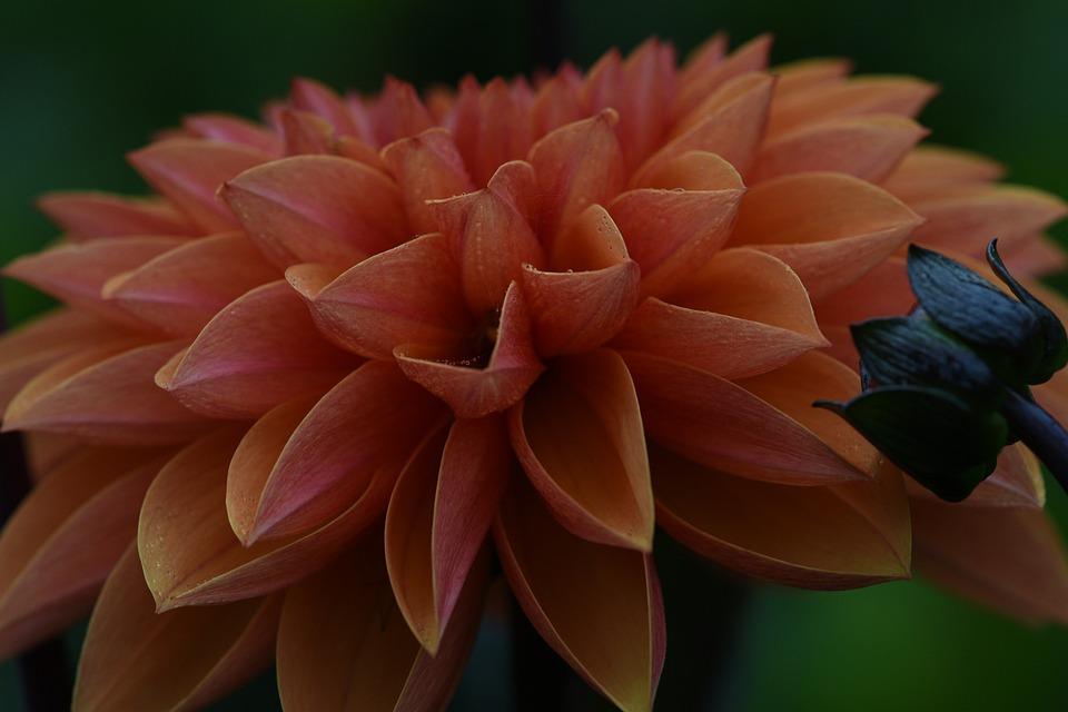 Dahlia, Flower, Orange, Flora, Blossom