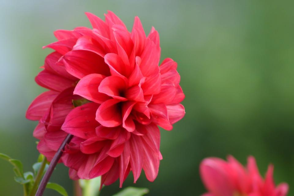 Dahlia, Red, Summer, Flower, Flower Garden, Blossom