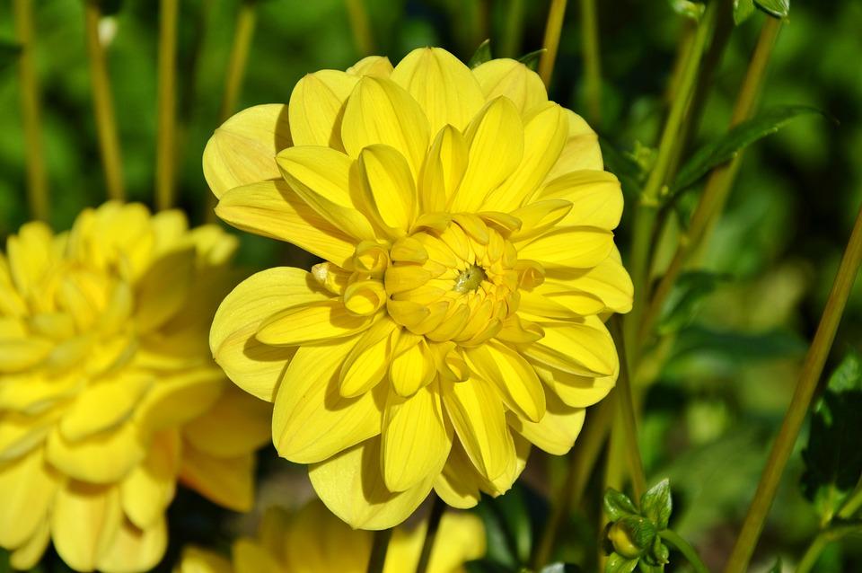 Dahlia, Dahlia Flower, Flower, Dahlia Garden