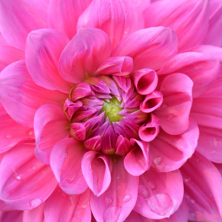Flower, Nature, Dahlia, Purple