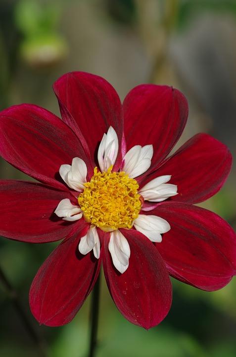 Dahlia, Flower, Petals, Nature, Summer, Floral, Red