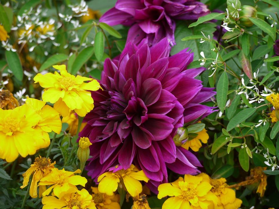 Dahlia, Flowers, Purple, Yellow, Blossom, Bloom, Autumn